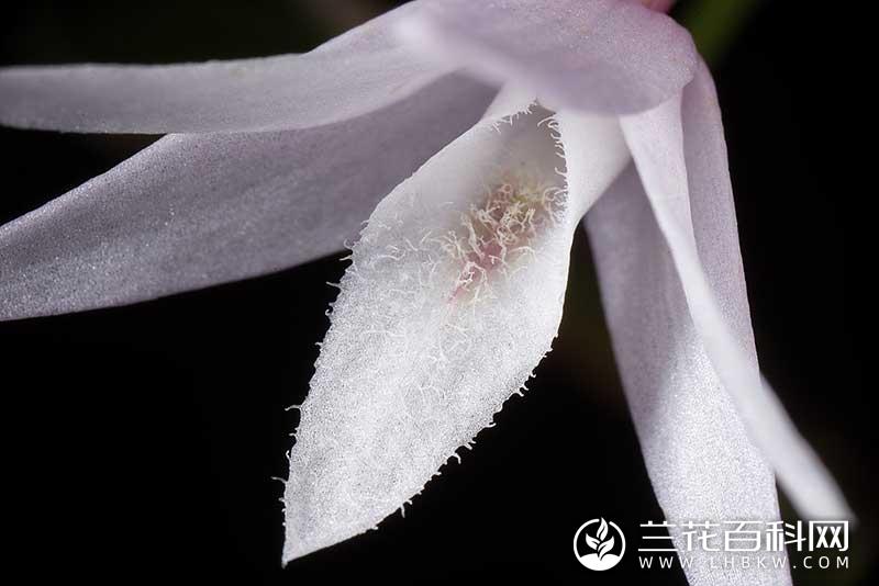 菱唇石斛Dendrobium leptocladum