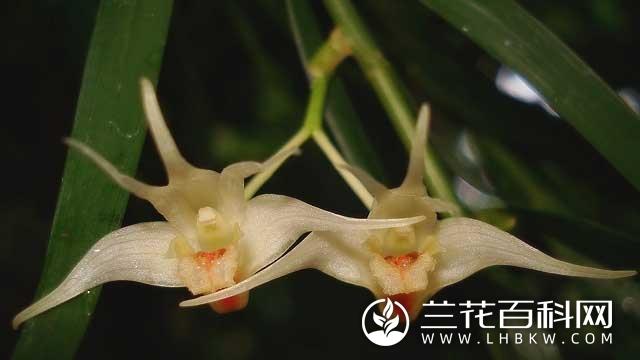 小双花石斛Dendrobium leptocladum