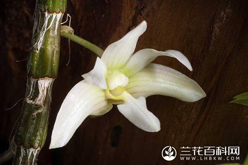 长爪石斛Dendrobium chameleon