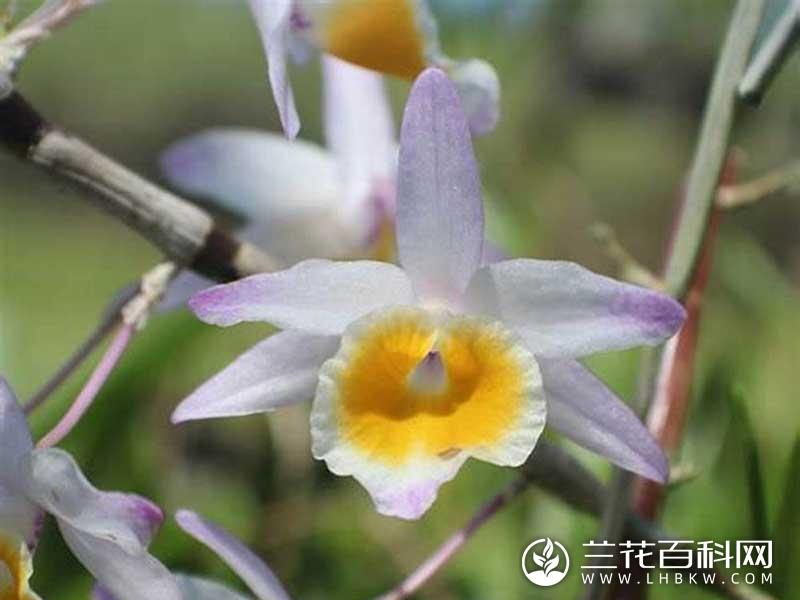杯鞘石斛Dendrobium gratiosissimum