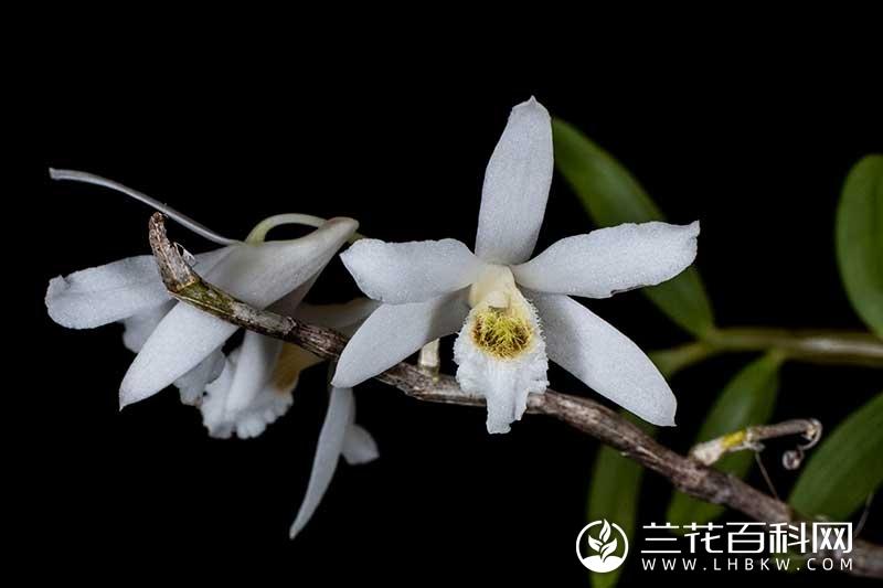 西畴石斛Dendrobium xichouense