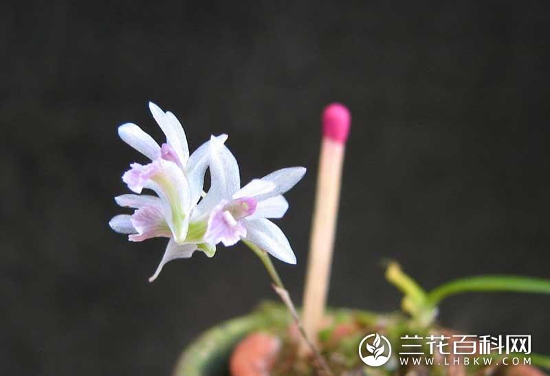藏南石斛Dendrobium monticola