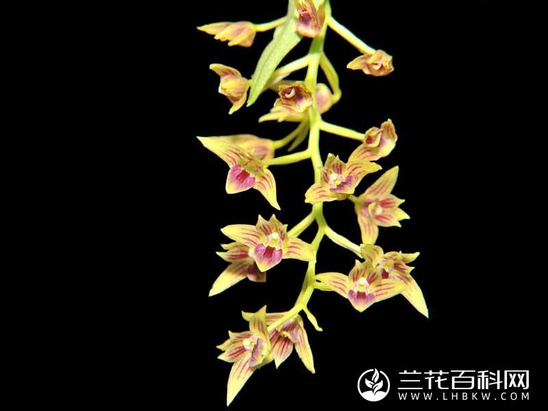 梳唇石斛Dendrobium strongylanthum