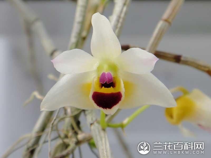 滇贵石斛Dendrobium scoriarum