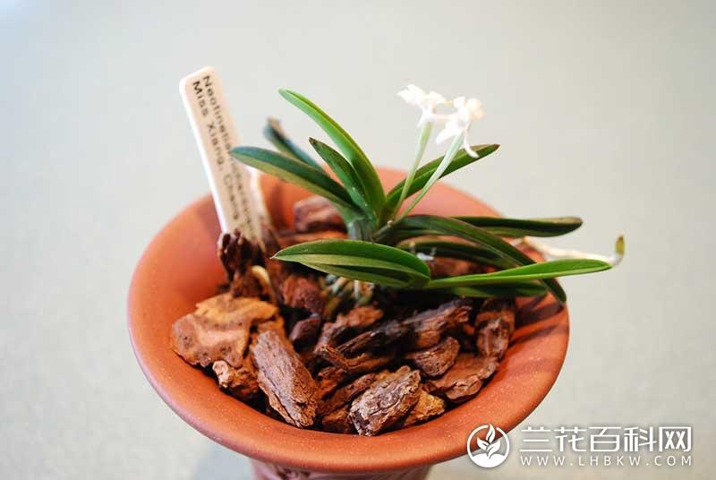 短距风兰Neofinetia richardsiana