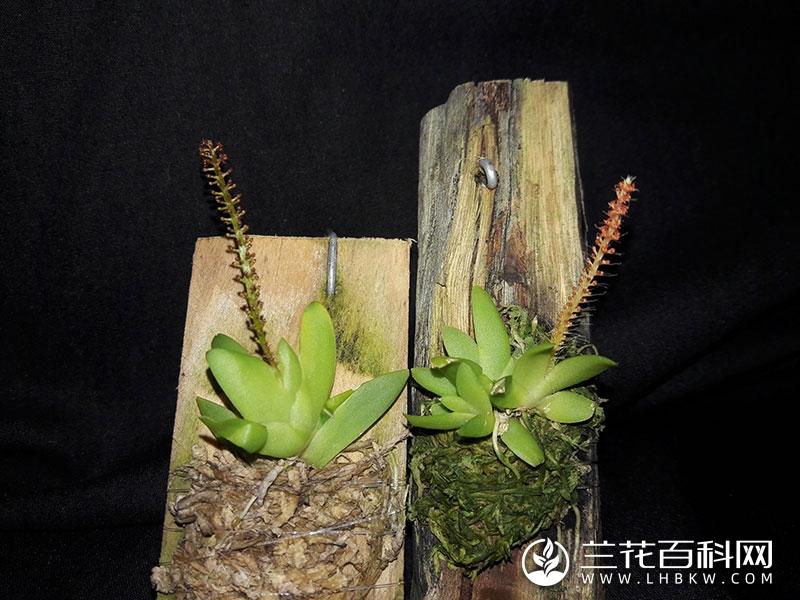 显脉鸢尾兰Oberonia acaulis