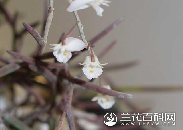 海南石斛Dendrobium hainanense