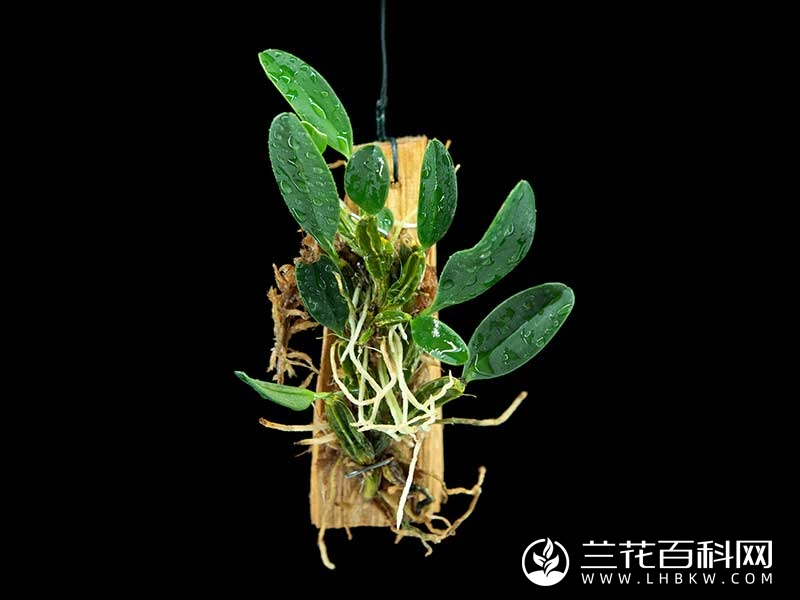 小黄花石斛Dendrobium jenkinsii