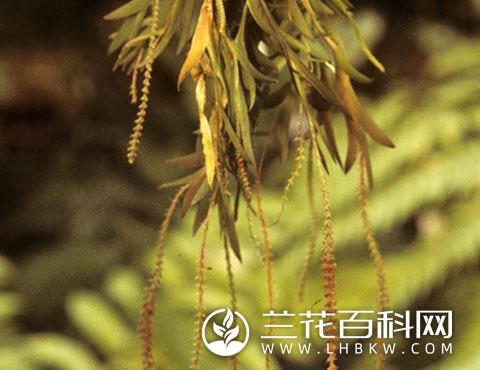 阿里山鸢尾兰Oberonia arisanensis