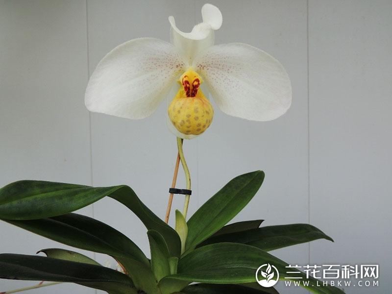 白花兜兰Paphiopedilum emersonii