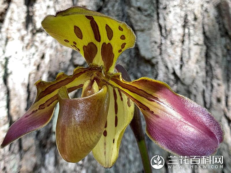 虎斑兜兰Paphiopedilum tigrinum