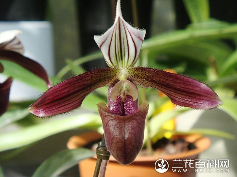 紫纹兜兰Paphiopedilum purpuratum