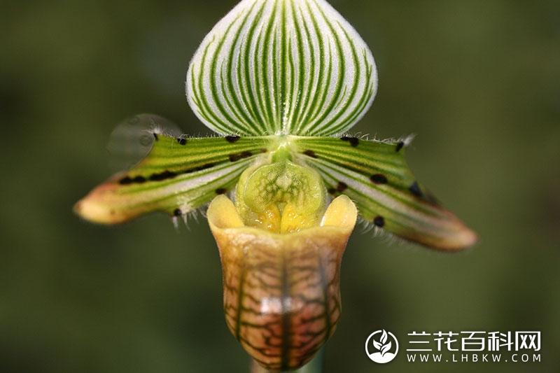 秀丽兜兰Paphiopedilum venustum