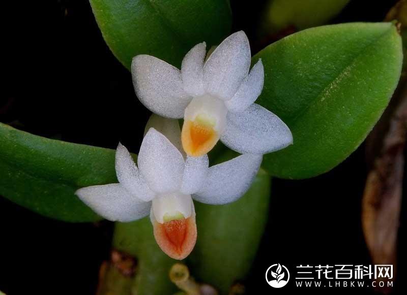 刀叶石斛Dendrobium terminale