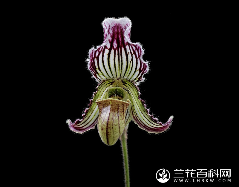 费氏兜兰Paphiopedilum fairrieanum
