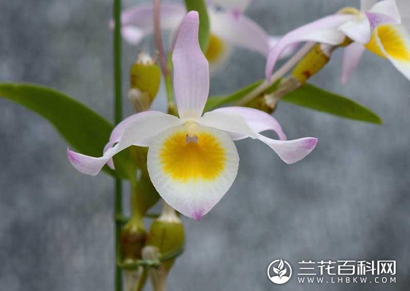 棒节石斛Dendrobium findlayanum