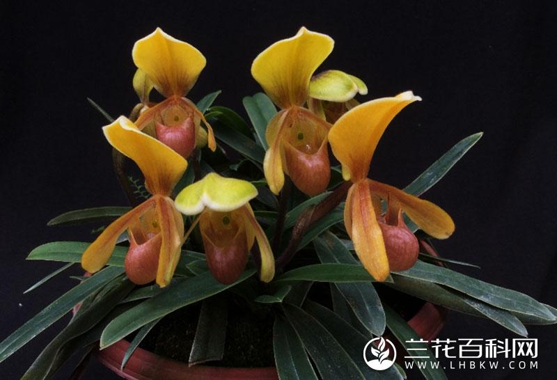 巧花兜兰Paphiopedilum helenae