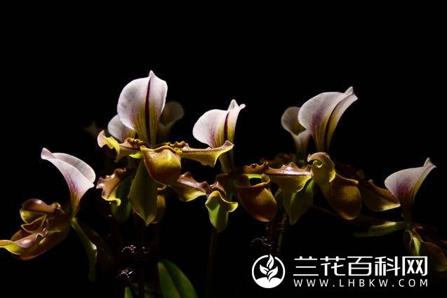 泸水兜兰Paphiopedilum × lushuiense