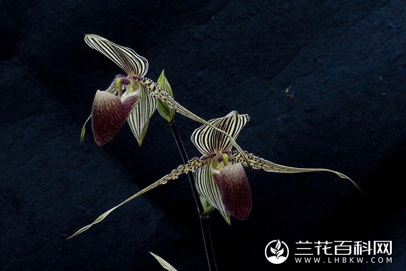 若氏兜兰Paphiopedilum rothschildianum