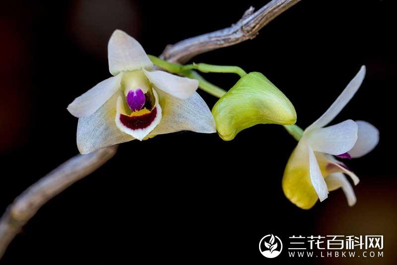 滇桂石斛Dendrobium guangxiense