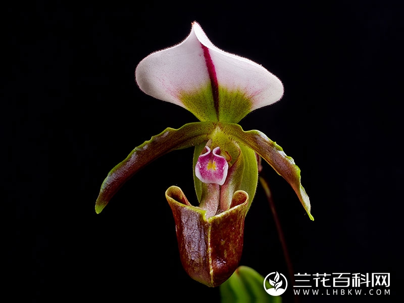 美丽兜兰Paphiopedilum spicerianum