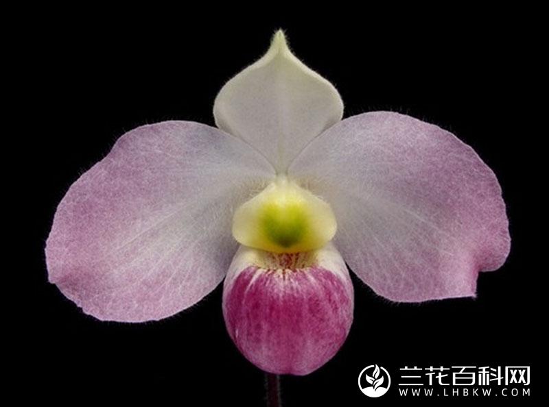 越南兜兰Paphiopedilum vietnamense