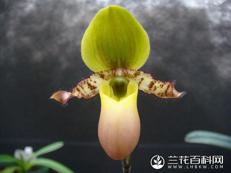 黄花兜兰Paphiopedilum primulinum