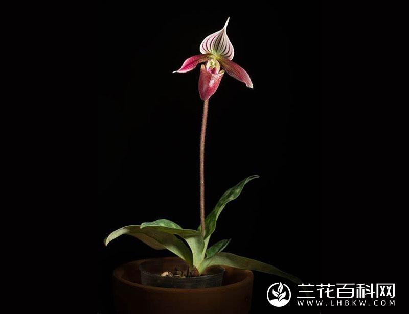 香港兜兰Paphiopedilum purpuratum