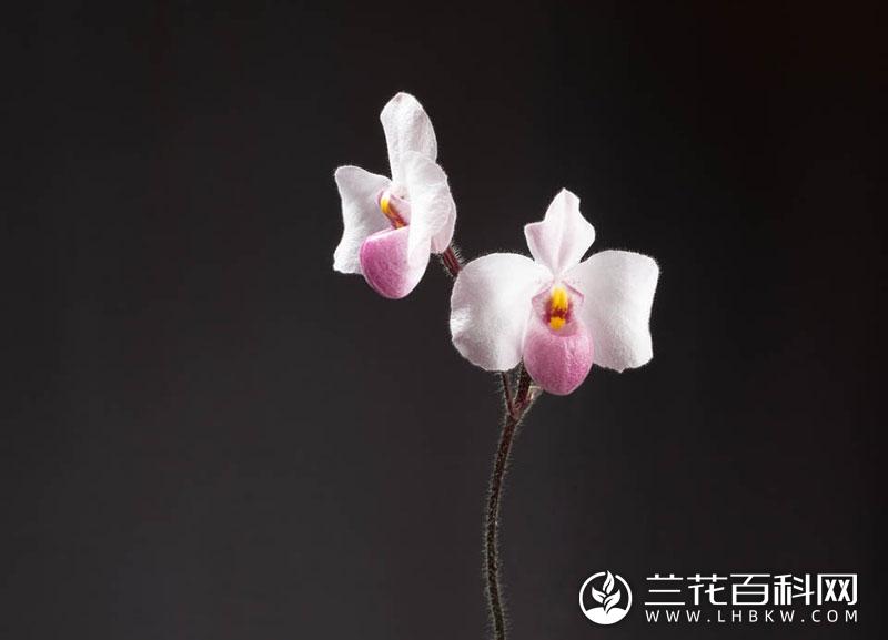 越南美人兜兰Paphiopedilum delenatii