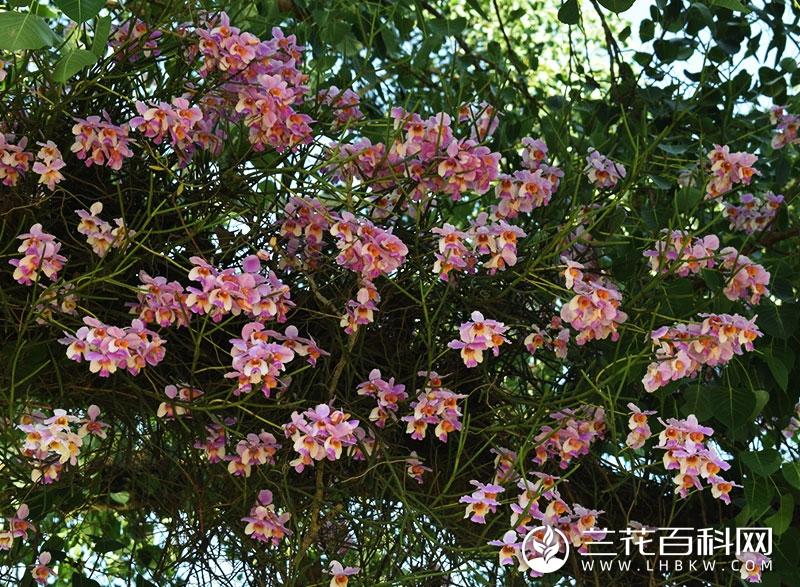 凤蝶兰属Papilionanthe