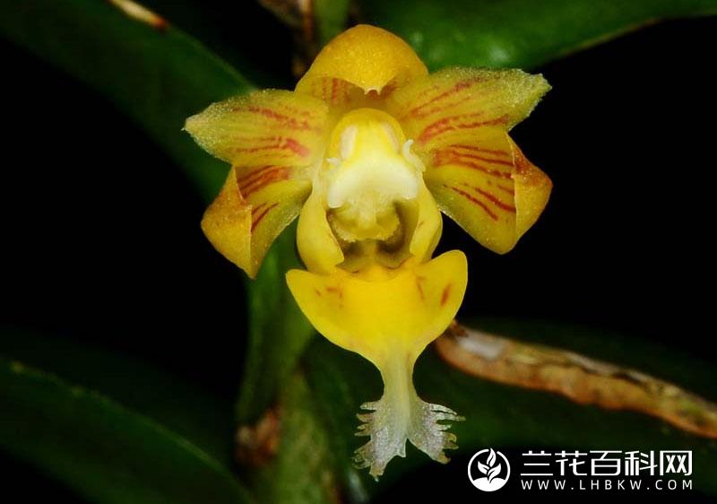 尾丝钻柱兰Pelatantheria bicuspidata