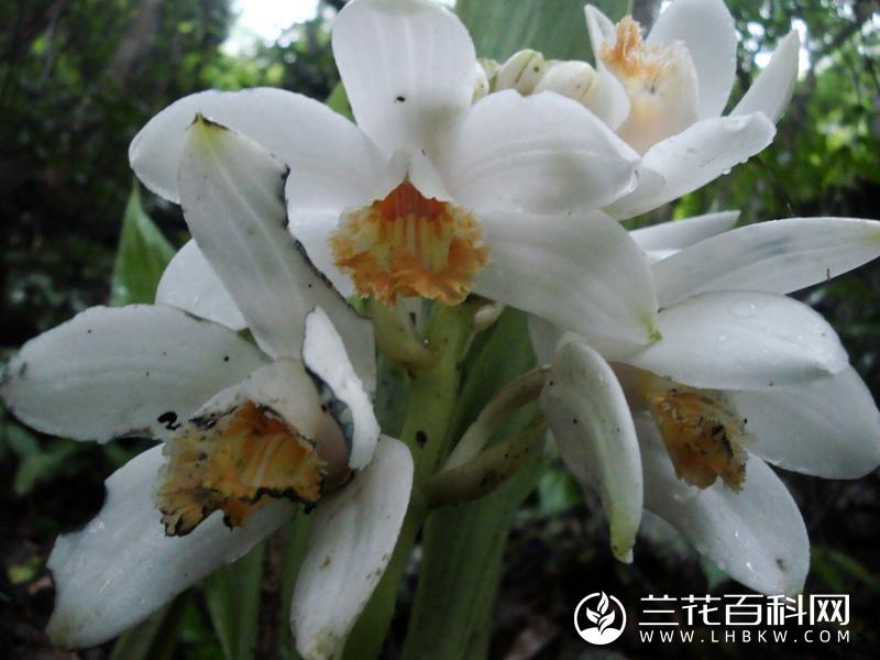 仙笔鹤顶兰Phaius columnaris