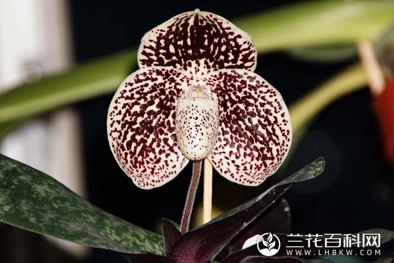 巨瓣兜兰Paphiopedilum bellatulum