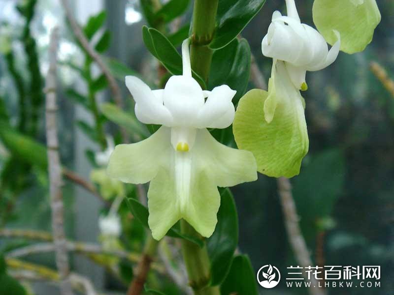 单花石斛Dendrobium uniflorum
