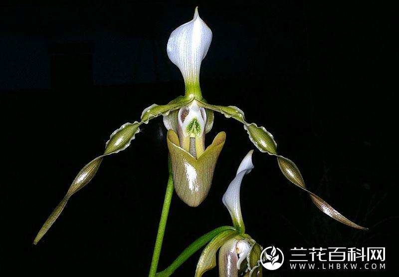 长瓣兜兰Paphiopedilum dianthum