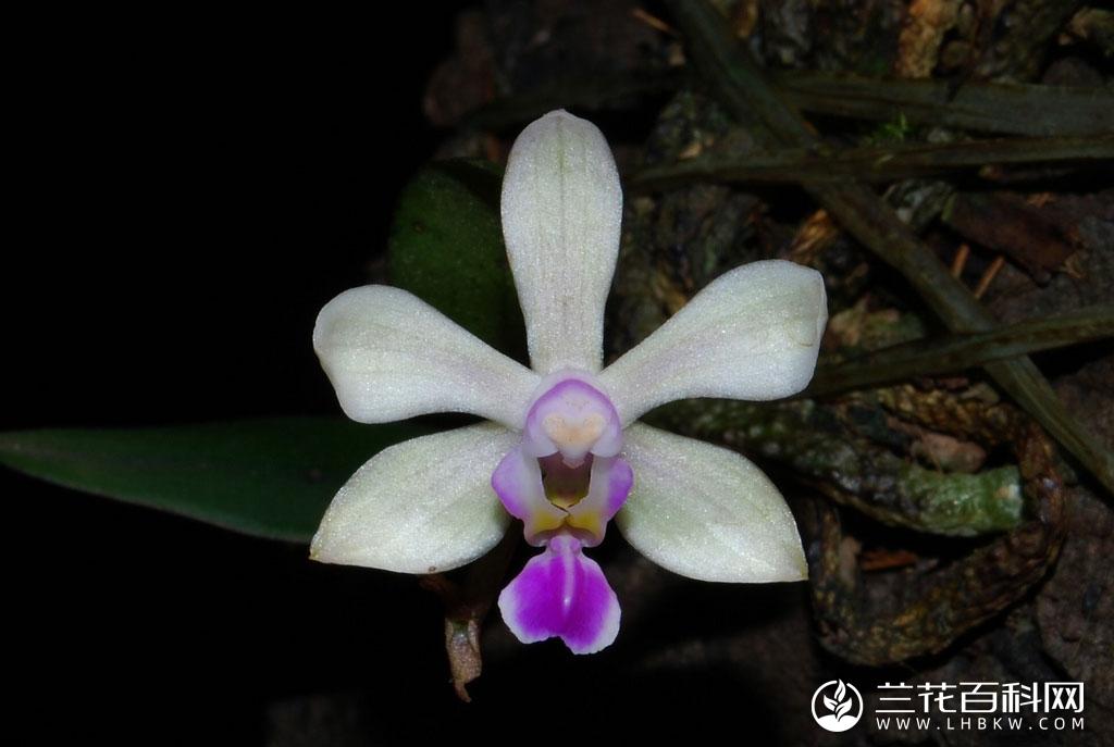 海南蝴蝶兰Phalaenopsis hainanensis