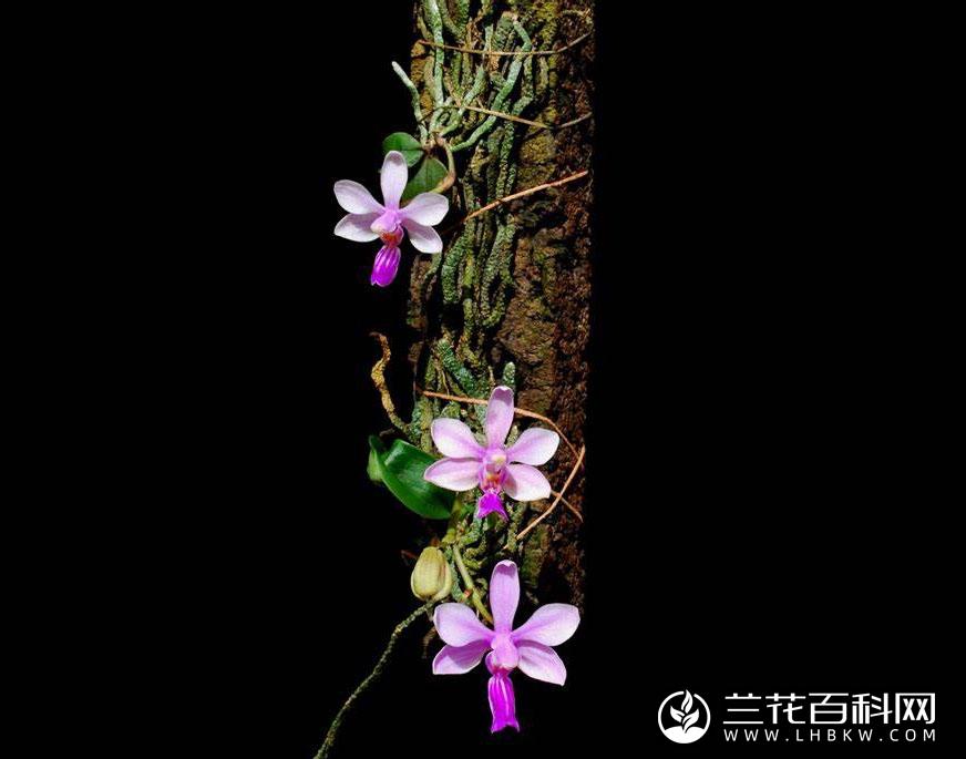 华西蝴蝶兰Phalaenopsis wilsonii