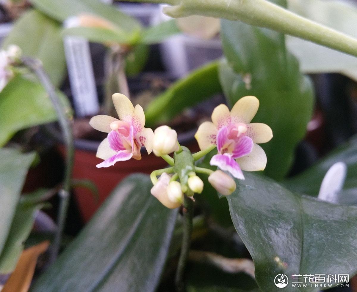 大尖囊蝴蝶兰Phalaenopsis deliciosa