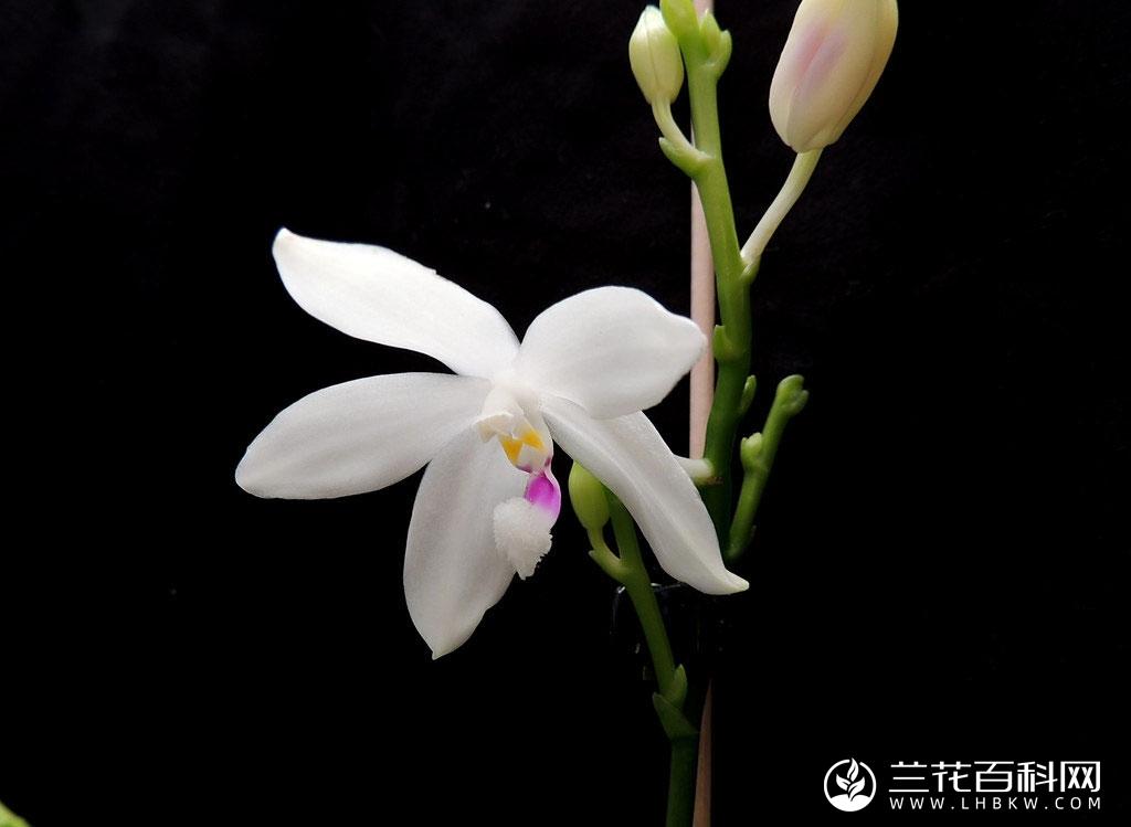 盾花蝴蝶兰Phalaenopsis tetraspis