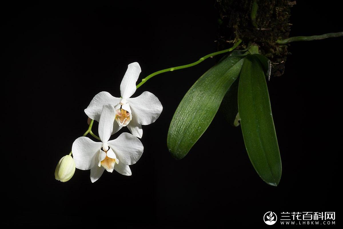 蝴蝶兰Phalaenopsis aphrodite