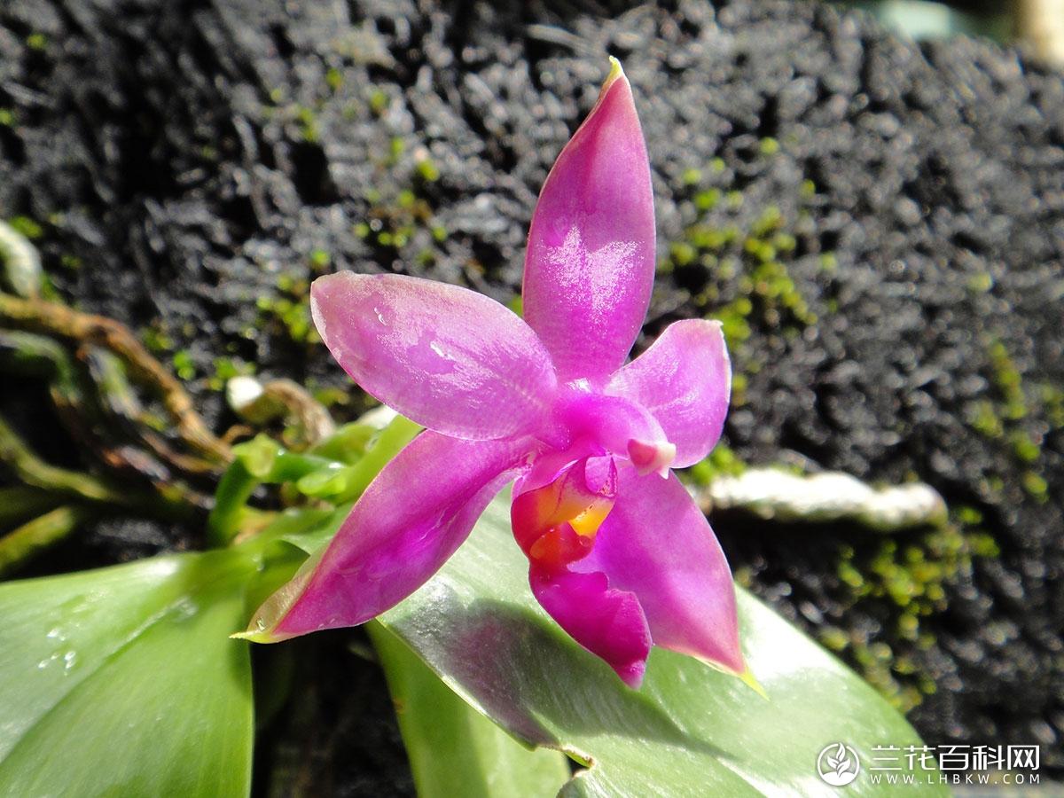 莹光蝴蝶兰Phalaenopsis violacea