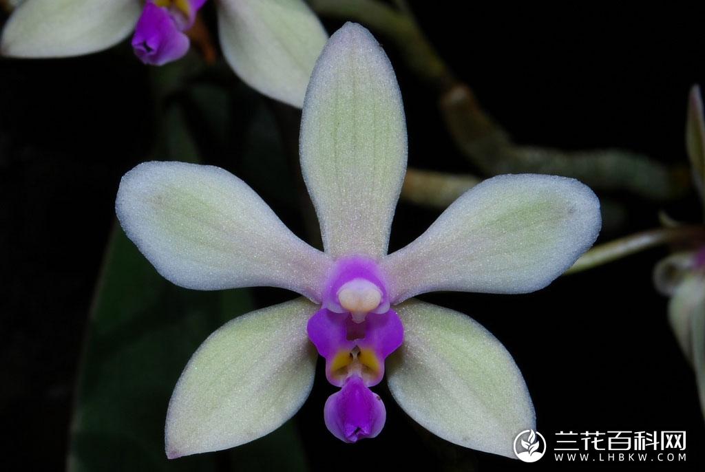 滇西蝴蝶兰Phalaenopsis stobartiana