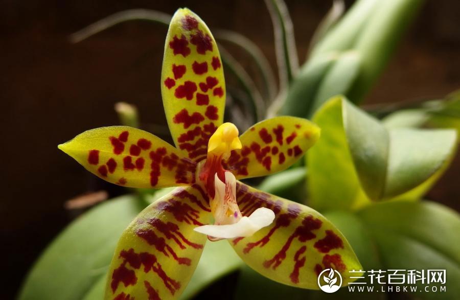 豹斑蝴蝶兰Phalaenopsis pantherina