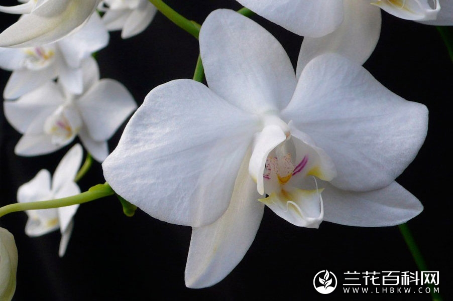 台湾蝴蝶兰Phalaenopsis aphrodite