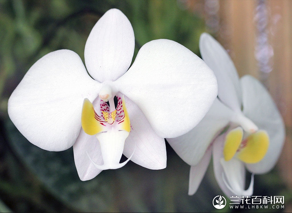 菲律宾蝴蝶兰Phalaenopsis philippinensis