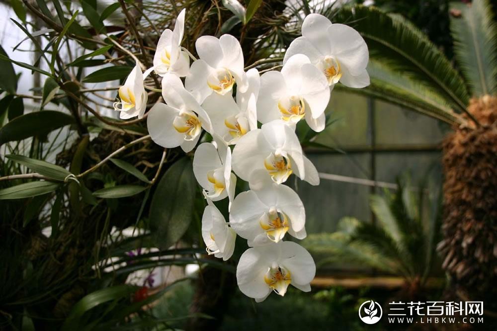 阿玛蝴蝶兰Phalaenopsis amabilis