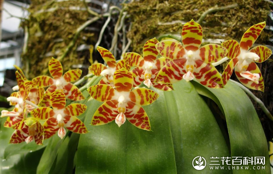 安纹蝴蝶兰Phalaenopsis amboinensis
