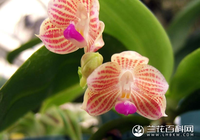 爪哇蝴蝶兰Phalaenopsis javanica