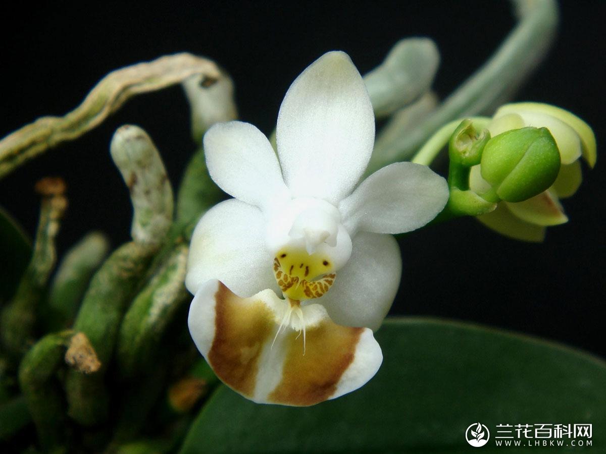 洛比蝴蝶兰Phalaenopsis lobbii