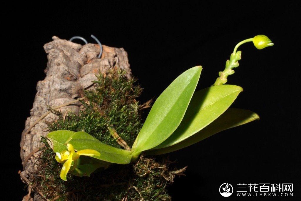 角状蝴蝶兰Phalaenopsis cornu-cervi